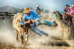 Steer Wrestling Cowboy Going For The Win. Hands Gripping the steers horns and with feet and dust flying in the air the determined cowboy is determined to bring the steer to a stop or change the direction of its body. The clock stops when the steer is on its side with all four legs pointing in the same direction.